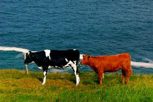 two cows in a field along the Irish coastline